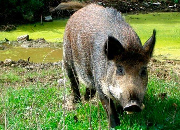 Un porc senglar
