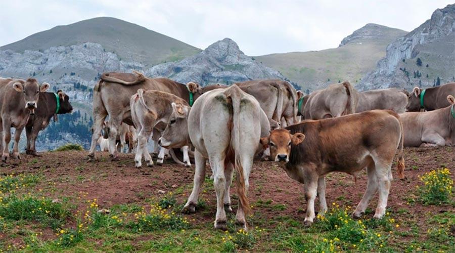 Un ramat e vaques