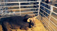 Una vaca bruna