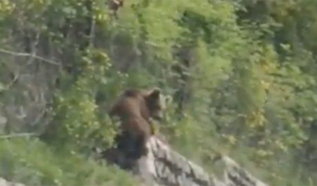 Un ós bru