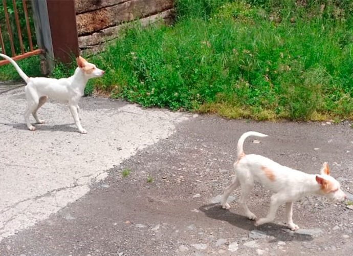Cadells fora del recinte d'un nucli zoologic