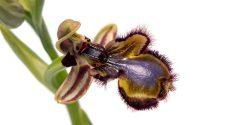 orquídia abella