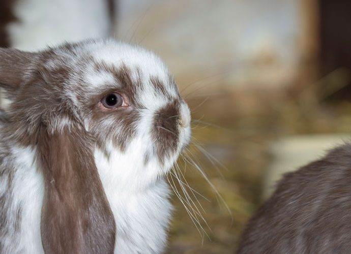 Conill amb una orella caiguda