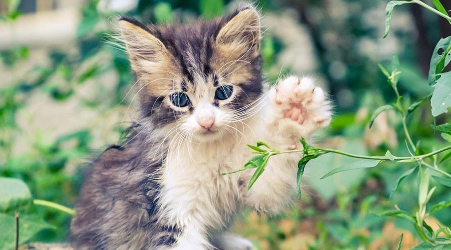 Una gat jugant