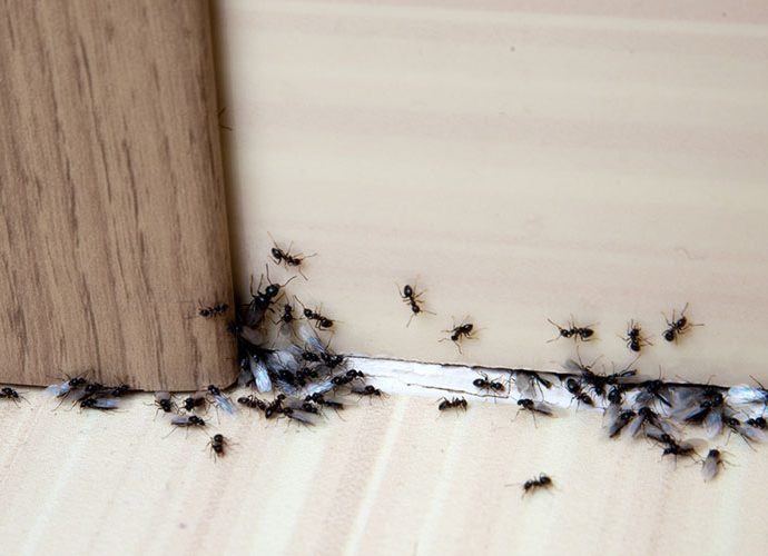 Formigues en una casa