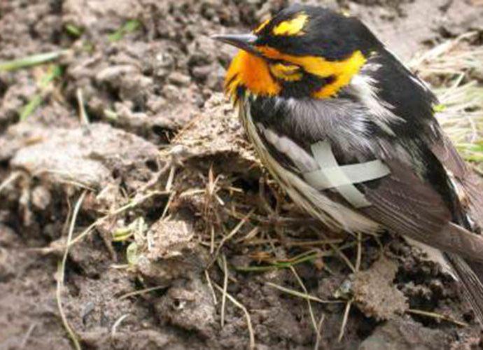 ocell ferit