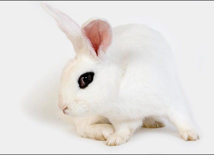 Un conill blanc de hotot