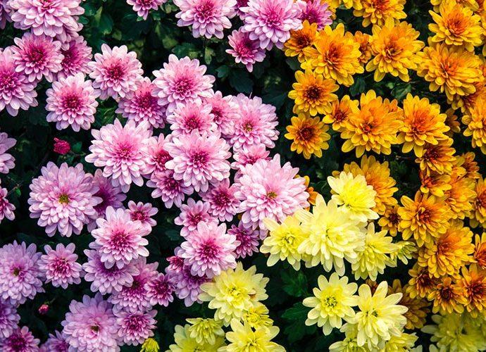 Crisantems