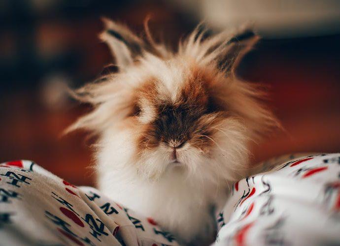 Un conill