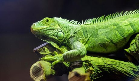 Iguana verda