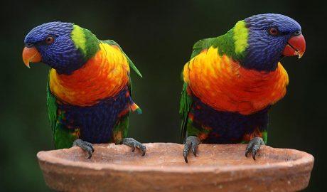 Dos ocells