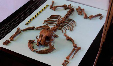 Esquelet de gos de la Hispània Romana