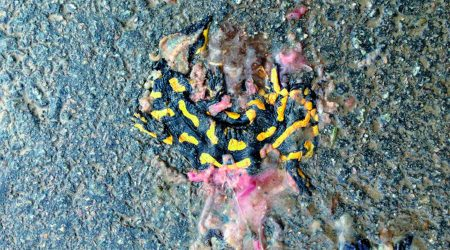 Salamandra aixafada